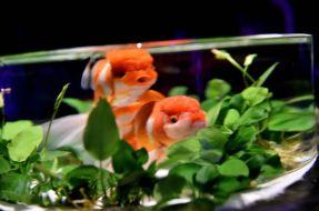 34 - Hidetomo Kimura - Art Aquarium