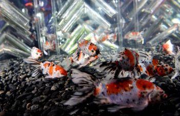 21 - Hidetomo Kimura - Art Aquarium